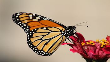 Helping to Mark the Monarch as Thriving, Not Endangered